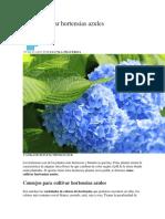 Cómo Cultivar Hortensias Azules