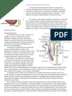 Anatomía Funcional Del Riñón