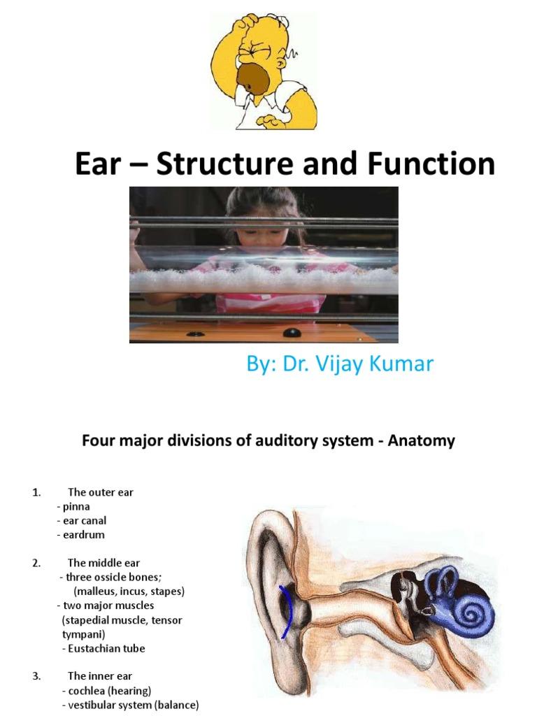 Ear | Ear | Auditory System