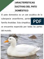 Caracteristicas Del Pato