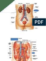Dhina Z.evals Anatomi Urologi