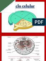 4_Ciclo celular e Mitose.ppt