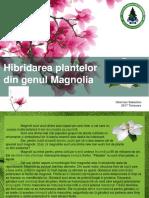 hibridare magnolie
