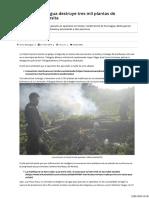 Policía de Nicaragua Destruye Tres Mil Plantas de Marihuana en Rosita