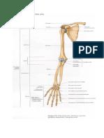 Anatomi Ektremitas