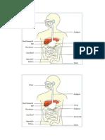 Digestion F2