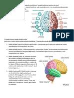 El cerebro está constituido por dos mitades.docx