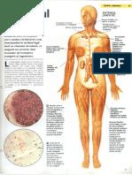 014 - Sistemul limfatic