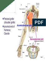 Bone Limb Upper