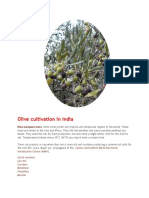 Olive Tree cultivation in India