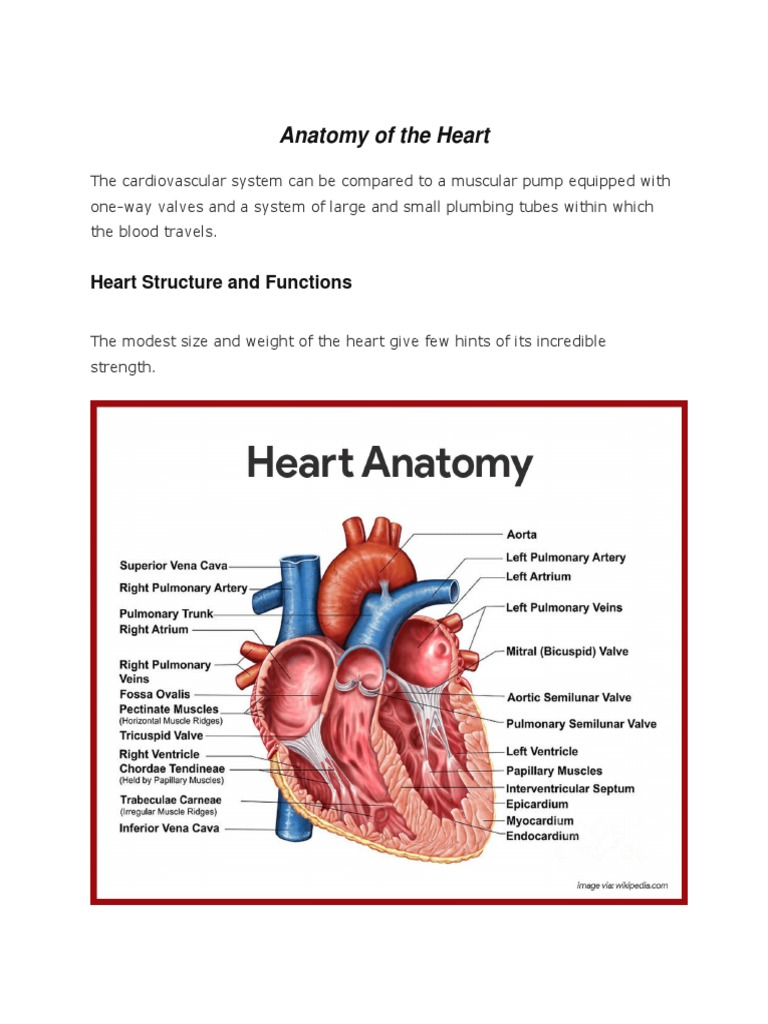 Magnificent Heart Ventricle Anatomy Gift - Human Anatomy Images ...