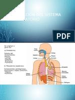 Formación Del Sistema Respiratorio