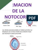 Formacion de La Notocorda