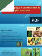 Principales Plagas de Amazonas