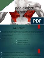 Nervio Espinal Plexo Nervioso y Espalda