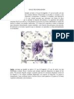 Giardia Lamblia - Ciclo de Evolucion