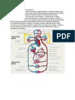 Cuál Es La Función Del Sistema Circulatorio