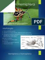 Ordem Hemiptera
