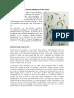 Charophyceae Algas Verdes