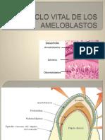 Ciclo Vital de Los Ameloblastos