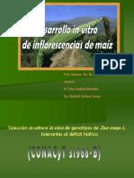 DESARROLLO IN VITRO DE INFLORESCENCIAS DE MAIZ