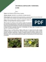 318249539-Cosecha-y-Poscosecha-de-melon.docx