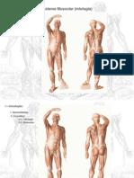 Sistema Muscular Miologia