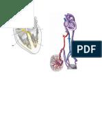 Conduction System and Prenatal Circulation