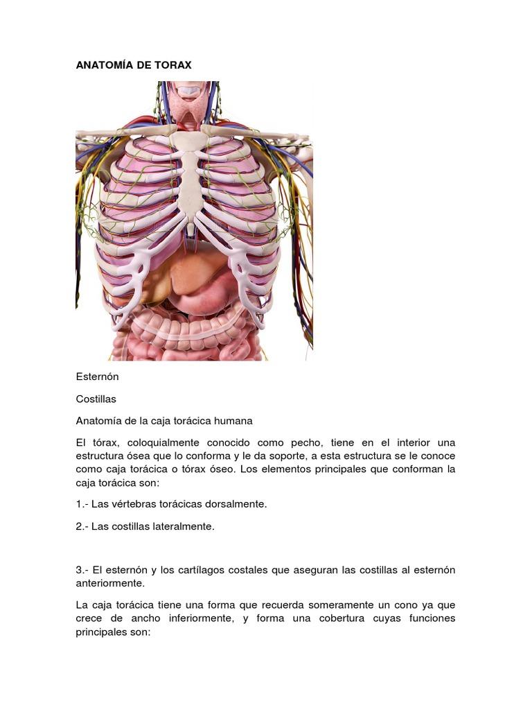 Moderno Anatomía Caja Torácica Macho Ilustración - Anatomía de Las ...