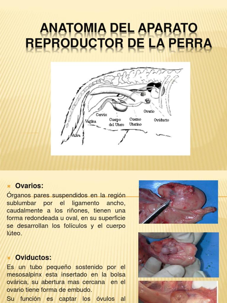 Anatomia y Fisiologia Del Aparato Reproductorr