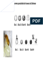 Acción parasitica de Trichogramma.pptx