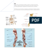 Músculos Del Tren Inferior