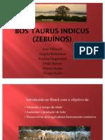 Bos Taurus Indicus (Zebuínos)