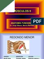 Musculos II
