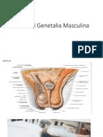 Anatomi Genetalia Masculina