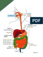 Qué Es El Sistema Digestivo