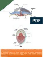 Embriologia Nerviosa Repaso