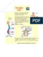 The Spinal Cord.docx