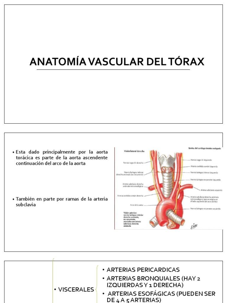 Anatomía Vascular Del Tórax Expo