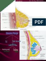 Anatomia de La Glandula Mamaria 001[1]