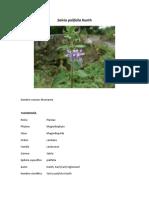 Salvia Palifolia Kunth - Mastranto