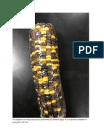 dihybrid corn lab