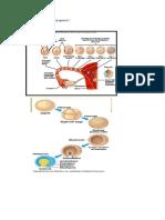 LO Embriogenesis