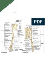 bones & fascia shoulder & arm.docx