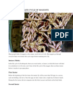 Life Cycle of Maggots
