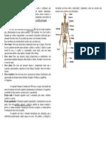 O Sistema Esquelético é Constituído Pelos Ossos e Cartilagem