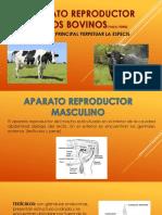 Aparato reproductor de los bovinos