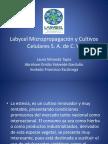 Stevia Rebaudiana Labycel-1