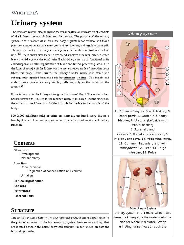 Urinary System Urinary System Genitourinary System