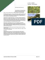 Acacia Crassicarpa a. Cunn. Ex Benth. (Australian Wattle)